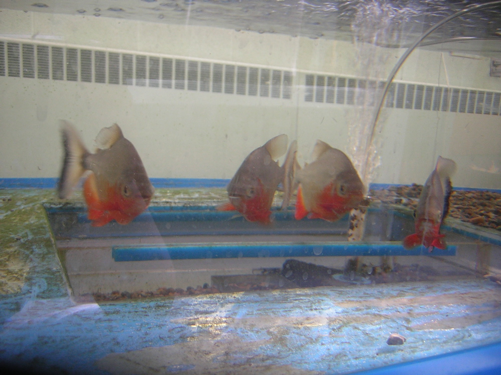 and rays together large headstanders leporinus spp no pirahnas please